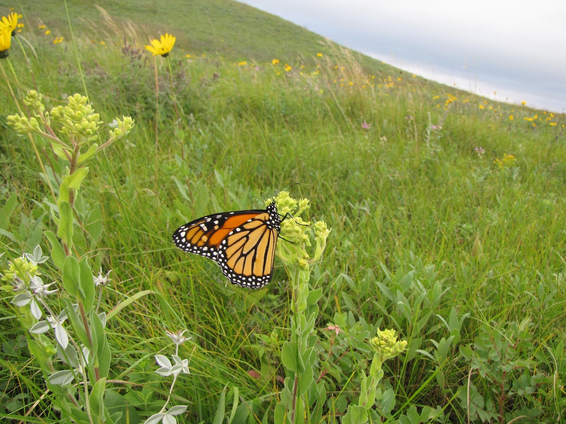 monarch-699556_1920