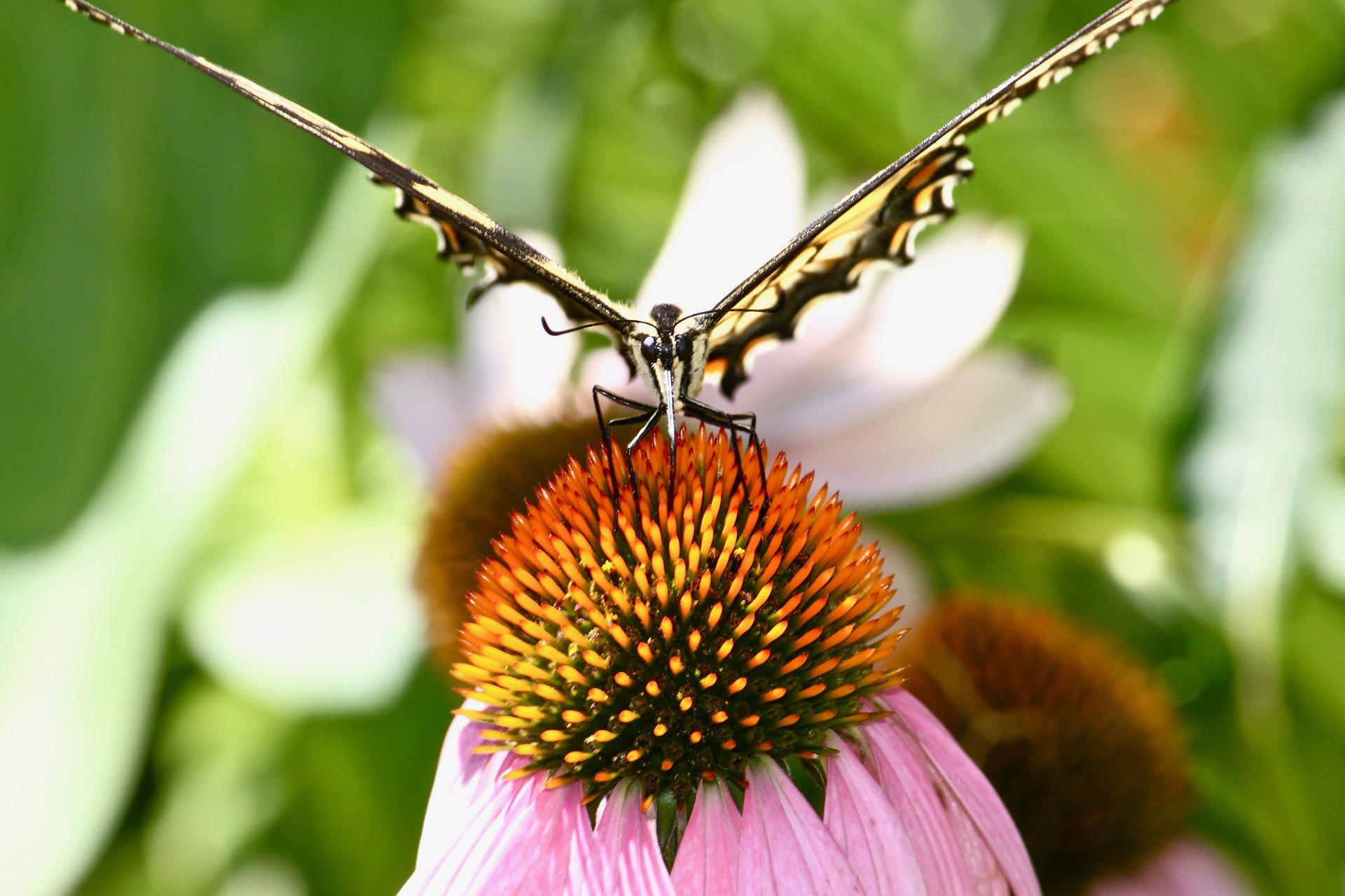 monarch-butterfly-2272163_1920